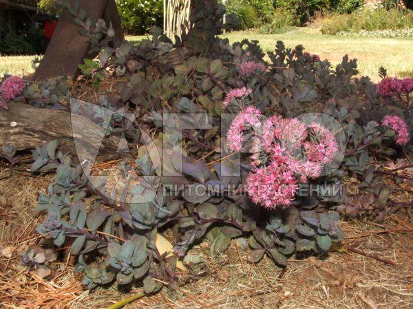 Очиток гибридный bartram anderson