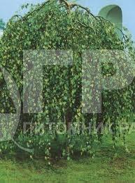 Береза повислая Youngii | Саженцы декоративных деревьев в Москве и МО